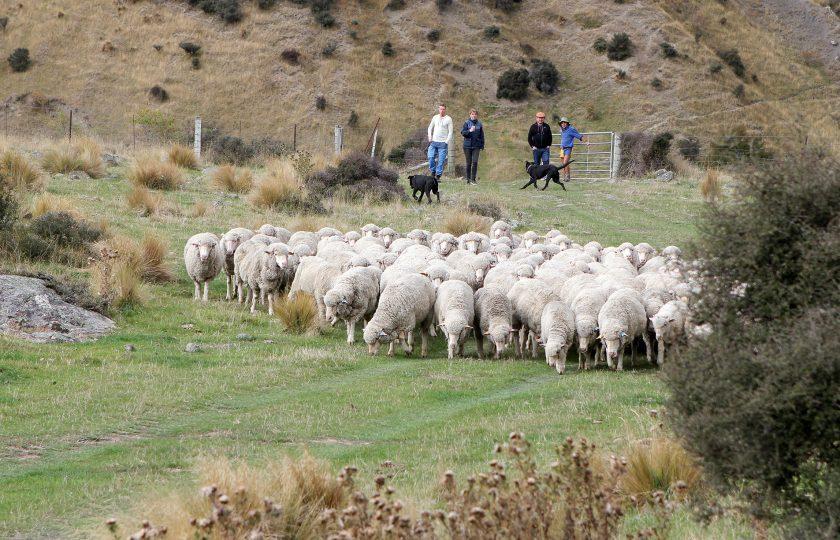 Åttio år av ull – historien om A …
