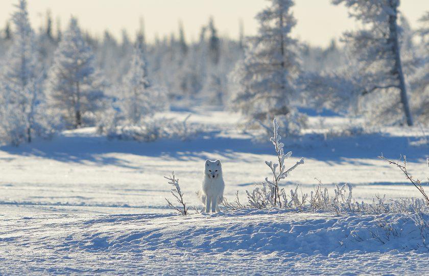 The Arctic Fox Initiative – ett sa …